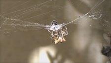 Hayalet Örümceğin Gizemli Dönüşümü