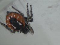Zıplayan Örümceğin Avlanma Anı - Jumping Spider