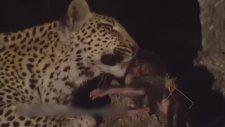 Yavru Maymuna Annelik Yapan Leopar