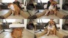 Bulldog Köpeğini Enstrümana Çeviren Adam