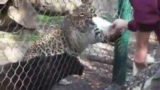 Hayvanat Bahçesinde Aç Aslana Fare Vermek