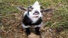 Gülümse Denildiğinde Yüzüne Tebessüm Konduran Keçi