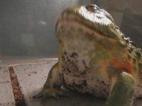 Löp Löp Yutan Kurbağa 2 (Fareli Uzun Versiyon)