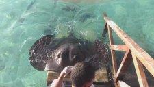 Kendisini Sevdirmek İsteyen Vatoz Balığı
