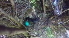 Kuş'un Yumurtada Doğmamış Yavrularını Yiyen Çakal Yılan