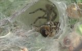 Arı Avlamış Örümcek