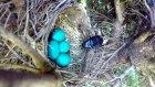 Kuş Yuvasından Yumurtaları Çalan Sinsi Yılan