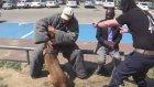Sahibini Bıçaklı Saldırgandan Koruyan K9 Köpeği