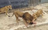 İntihar Etmek için Soyunarak Aslanların Kafesine Girmek