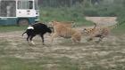 Çin'de Canlı ineği Kaplanlara Yem Ettiler
