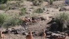 Leopar Avını Havada Yakaladı