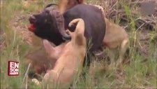 Bufalo ile 5 Aslanın Amansız Ölüm Kalım Mücadelesi