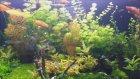 Bitkili Velifera Akvaryumum