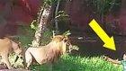 Aslanlara Dokunmak İçin Kafese Atlayan Rahatsız Adam