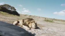 Öldürdükleri Aslanın Başında Fotoğraf Çektirirken Başlarına Gelen...