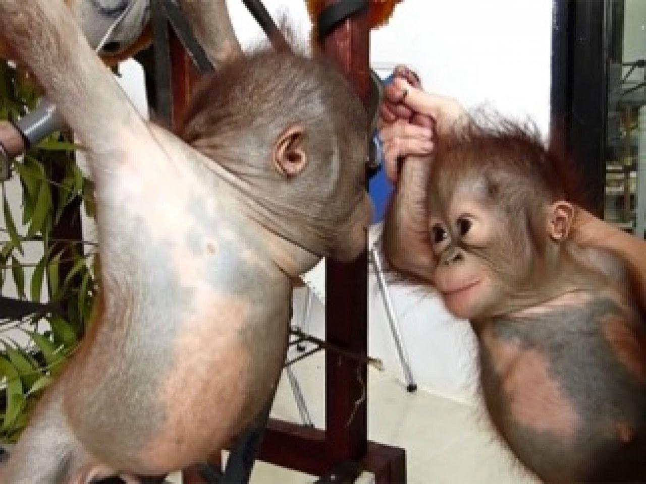 Секс рассказы с орангутаном 23 фотография