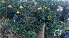 Limon Fidani Mayer .bodur Yediveren Karadeniz