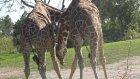 Pepee Ve Niloya Hayvanat Bahçesinde Zürafa Görüyorlar. Pepee İn The Zoo 4k Uhd
