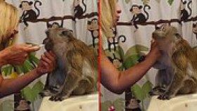 Yatmadan Önce Dişlerini Fırçalatan Bakımlı Maymun