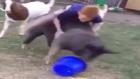 Domuzla Rodeo Yapan Çılgın Çocuk