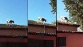 Adana'da Çatıdan Çatıya Atlayan İnek
