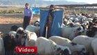 Muş'ta 4 Bin TL Ücretle Çoban Aranıyor