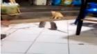 Dev Farelerin Kavgasını Şaşkınlıkla İzleyen Kedi