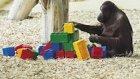 Legolardan Kendince Gökdelen Yapan Orangutan