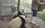 Hayvanat Bahçesindeki Pandaların Sıradan Bir Günü