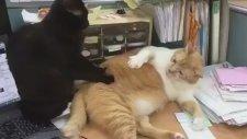 Masajı Beğenmeyen Şişman Kedi