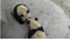 Bir Öpücükle Kendinden Geçen Sevimli Panda