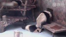 Arkadaşının Suratına Sıçan Panda