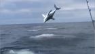 60 Saniye İçinde Defalarca Zıplayan Köpekbalığı