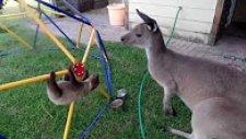 Kanguruyla Arkadaş Olmaya Çalışan Tembel Hayvan