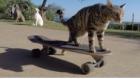 Kaykay Ustası Kedi