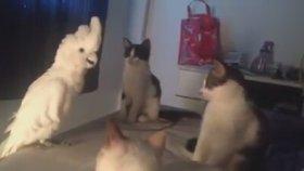 Taklitci Papağan Kedilerin Kafasını Karıştırdı