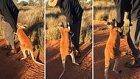 Bakıcısının Gitmesine İzin Vermeyen Kanguru