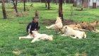 Leopar Saldırısından Hayvanat Bahçesi Bakıcısını Koruyan Kaplan