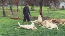 Büyük Kedilere Fısıldayan Adam Ölümden Döndü