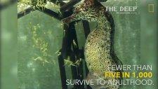 Tek Seferde 2000 Yavru Doğuran Denizatı