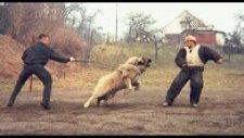 Kafkas Çoban Köpeği vs Yaban Domuzu  Sizce Hangisi Daha Güçlü ?