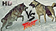Kangal Kurt Dövüşünü Kim Kazanır?