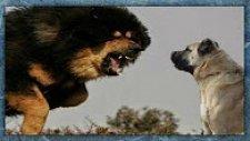 Kangal Mı Kafkas Çoban Köpeği Mi Tibet Mastifi Mi?