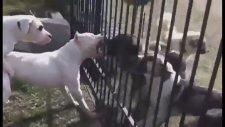 Dogo Argentino Mu Presa Canario Mu Köpek Dövüşleri Ve Domuz Avcısı Köpekler  Hangisi Daha Güçlü