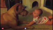 Köpek Dövüşleri Ve Pittbull Rottweiler ve Doberman Hakkında Hangisi Daha Güçlü?