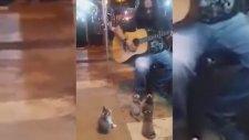 Sokak Müzisyenini Hayranlıkla İzleyen Yavru Kediler