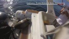 Katil Balinaların Saldırısından Kaçıp Tekneye Sığınan Fok Balığı