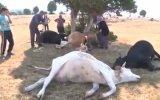 Kütahya'da Yaşlı Çiftçilerin İneklerine Yıldırım Çarpması