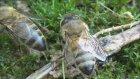 Su İçen Bal Arıları