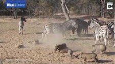 Zebra'dan Domuza Bayıltan Tekme